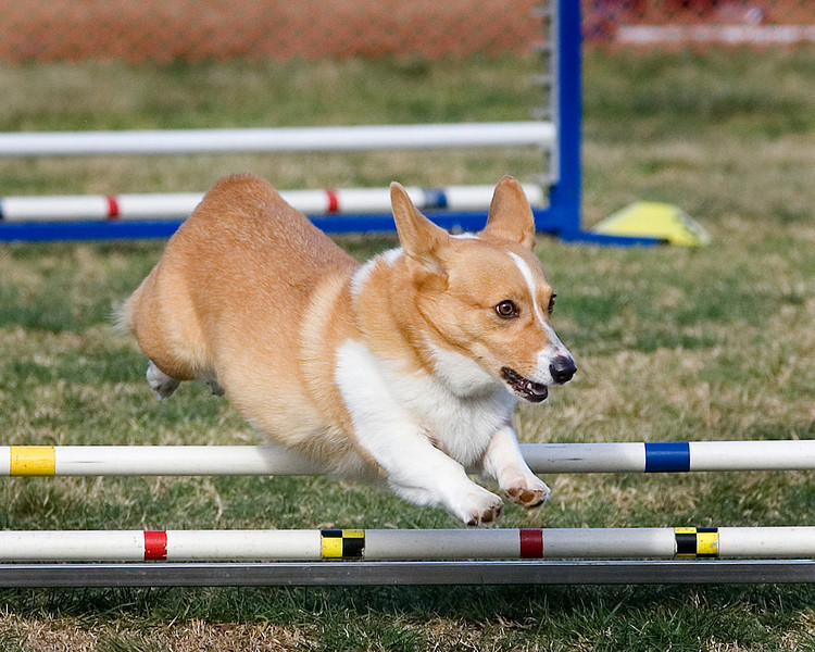 Pembroke Welsh Corgi #806:  Bandit.  Performance Dog Training CPE Agility Trial January 6, 2013 in San Diego, California.  Colors  Round 1 - Levels 3/4/5/C 8 inch. Owned/Handled by Bobby & Terry Blain.
