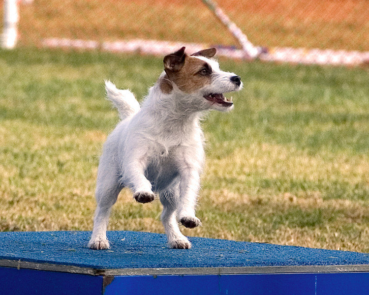 Jack Russell Terrier #804:  Mini-Me.  Performance Dog Training CPE Agility Trial January 6, 2013 in San Diego, California.  Fullhouse  Round 1 - Levels 1/2/3/4/5/C 8 inch. Owned/Handled by Barbara Chesnut.