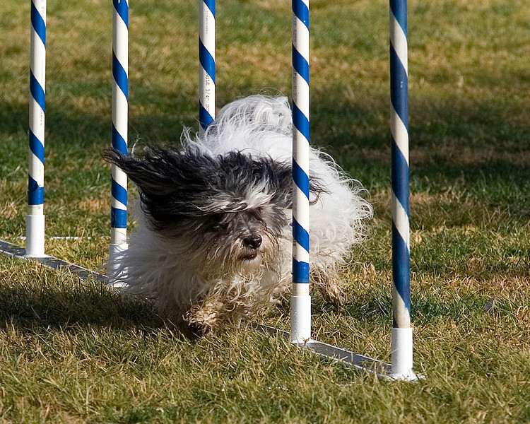 Havanese #811:  Max.  Performance Dog Training CPE Agility Trial January 6, 2013 in San Diego, California.  Fullhouse  Round 1 - Levels 1/2/3/4/5/C 8 inch. Owned/Handled by Sandy Yarvis.