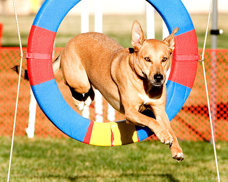 All American #2407:  Milo. Performance Dog Training CPE Agility Trial January 6, 2013 in San Diego, California. Snooker Round 1 - Levels 1/2 24 inch.  <br /> Owned/Handled by Cheryl Solomon.