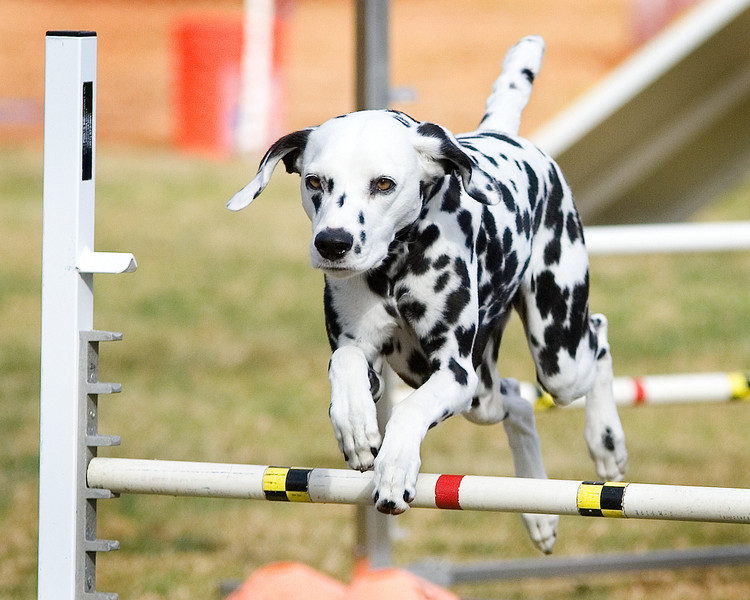 Dalmatian #2002: Scarlett. Performance Dog Training CPE Agility Trial January 6, 2013 in San Diego, California. Standard Round 1 - Levels 4/5/C 20 inch.  Owned/Handled by Gabriella Ravani.