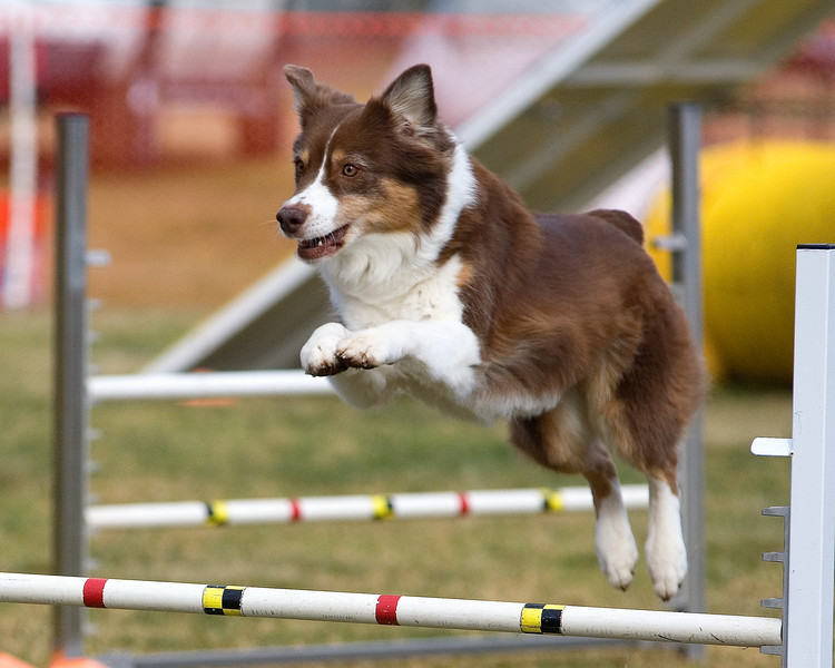 Australian Shepherd #1605:  Bug.  Performance Dog Training CPE Agility Trial January 6, 2013 in San Diego, California. Standard Round 1 - Levels 4/5/C 20 inch.  Owned/Handled by Dan Roy.