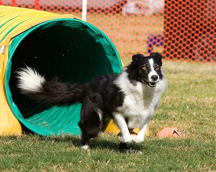 Border Collie #2403:  Ping. Performance Dog Training CPE Agility Trial January 6, 2013 in San Diego, California. Standard Round 1 - Levels 4/5/C 24 inch.  Owned/Handled by Jean & Carl Eichenlaub.
