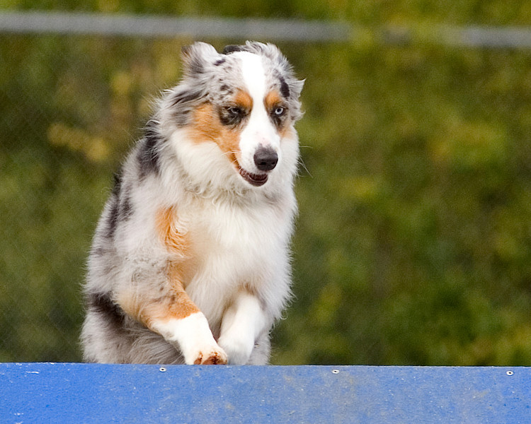 Miniature Australian Shepherd #1601: Bonnie.  Performance Dog Training CPE Agility Trial January 6, 2013 in San Diego, California. Standard <br /> Round 1 - Levels 1/2 12 inch.  Owned/Handled by Laura Ann Lotz.