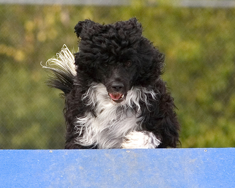 Portuguese Water Dog #1602:  Tressa. Performance Dog Training CPE Agility Trial January 6, 2013 in San Diego, California. Standard Round 1 - <br /> Levels 2/3 16 inch.  Owned/Handled by Debby Wheeler.