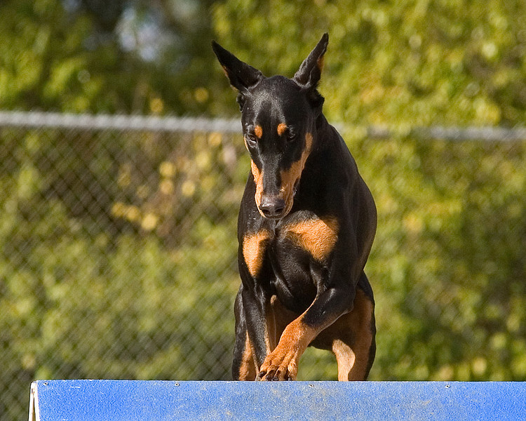 Doberman Pinscher #22412S:  Reba.  Performance Dog Training CPE Agility Trial January 6, 2013 in San Diego, California. Standard Round 1 - <br /> Levels 2/3 16 inch.  Owned/Handled by Randall & Mary Jo Thomsen.