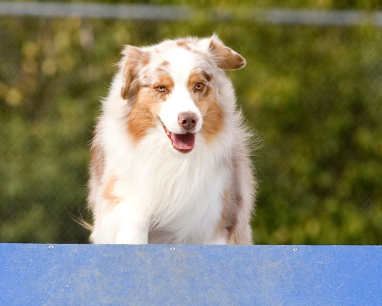 Australian Shepherd #1607:  Cruz.  Performance Dog Training CPE Agility Trial January 6, 2013 in San Diego, California. Standard Round 1 - <br /> Levels 2/3 16 inch. Owned/Handled by Dayle Moden.