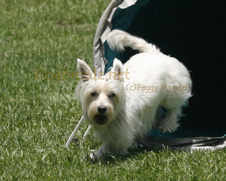 _MG_2325a-CosetteWestHighlandWhiteTerrierSherylWall