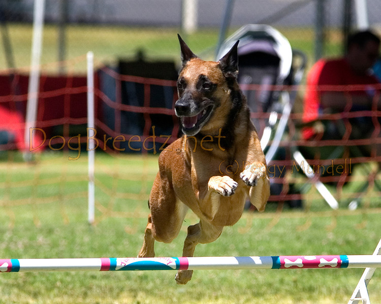(Image #1078a) Belgian Malinois #24104:  Jade. Simi Valley Kennel Club AKC Agility Trial May 19, 2013 in Camarillo, California. JWW Master/Excellent 24 inch.  Handled by Anna Green.