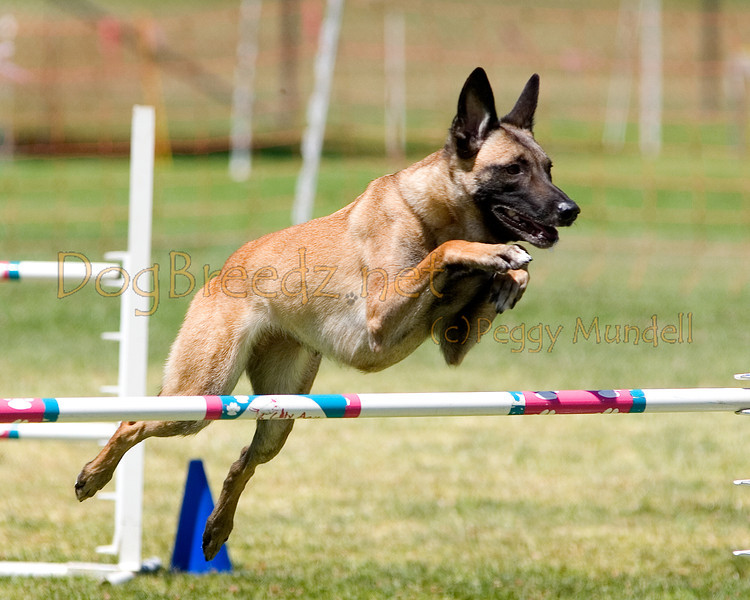 (Image #1068a) Belgian Malinois #24101:  Dottie. Simi Valley Kennel Club AKC Agility Trial May 19, 2013 in Camarillo, California. JWW Master/Excellent 24 inch.  Handled by Marla Vogeley.