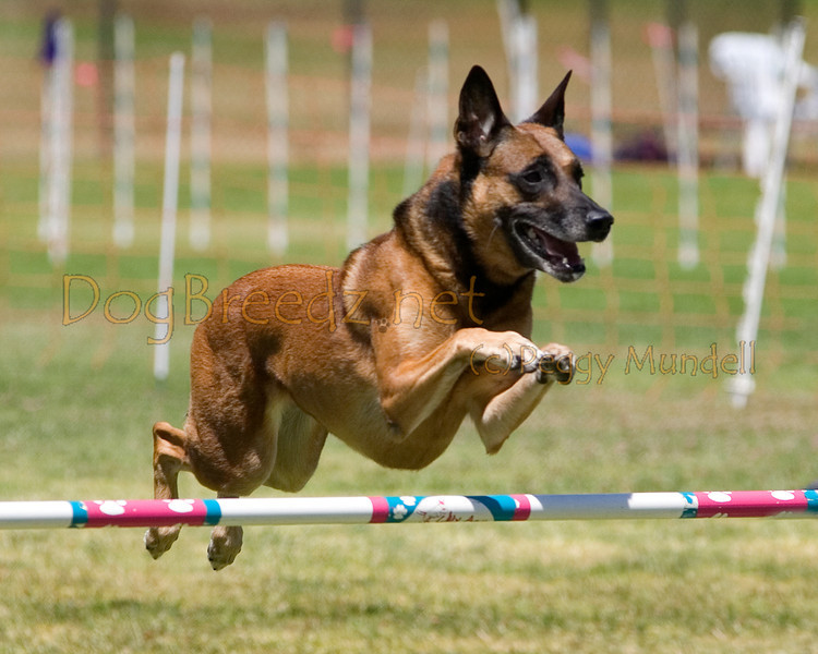 (Image #1080a) Belgian Malinois #24104:  Jade. Simi Valley Kennel Club AKC Agility Trial May 19, 2013 in Camarillo, California. JWW Master/Excellent 24 inch.  Handled by Anna Green.