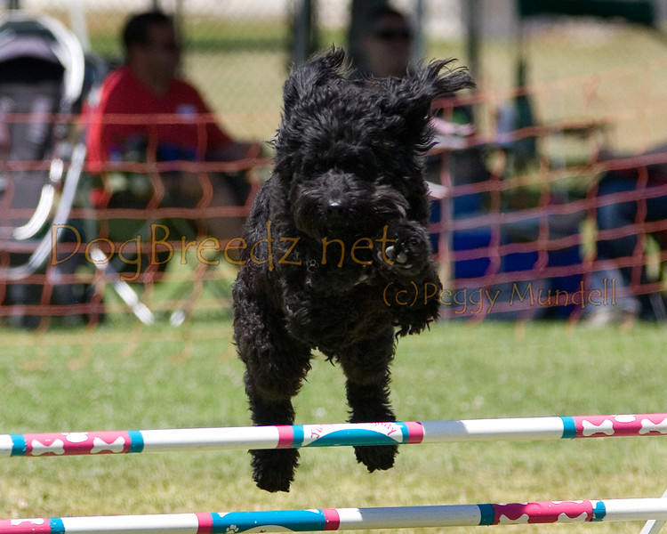 (Image #1070a) Portuguese Water Dog #24102:  Sister. Simi Valley Kennel Club AKC Agility Trial May 19, 2013 in Camarillo, California. JWW Master/Excellent 16 inch.  Handled for Gay MacNair.