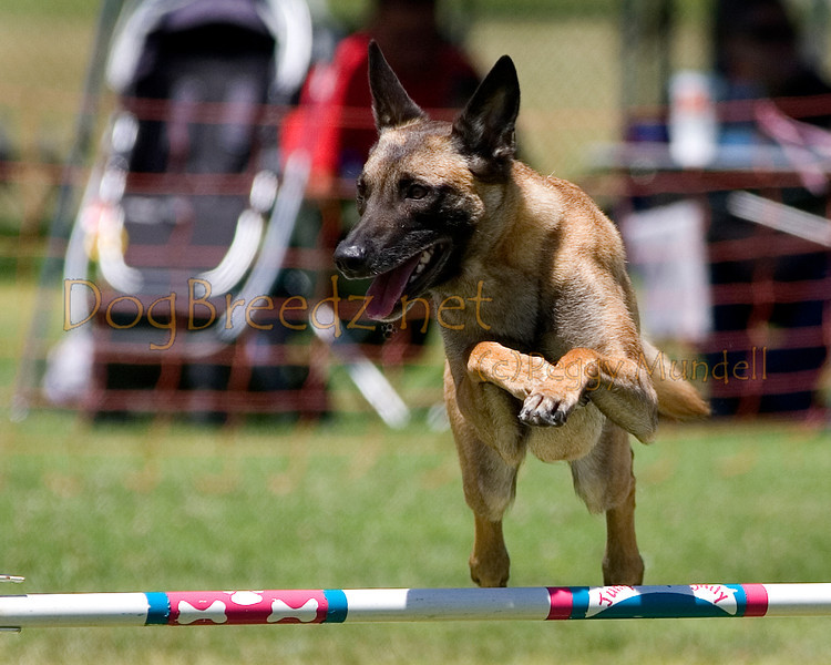 (Image #1066a) Belgian Malinois #24101:  Dottie. Simi Valley Kennel Club AKC Agility Trial May 19, 2013 in Camarillo, California. JWW Master/Excellent 24 inch.  Handled by Marla Vogeley.