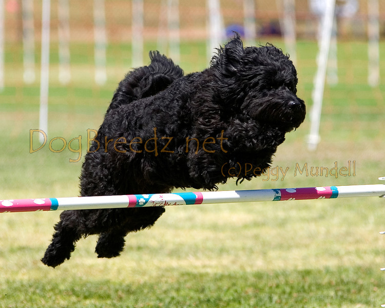 (Image #1072a) Portuguese Water Dog #24102:  Sister. Simi Valley Kennel Club AKC Agility Trial May 19, 2013 in Camarillo, California. JWW Master/Excellent 16 inch.  Handled for Gay MacNair.