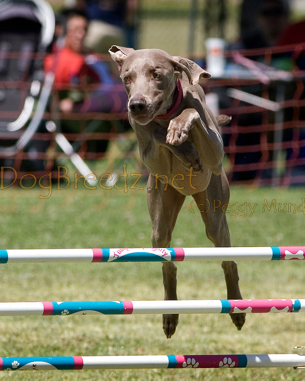 (Image #1093a) Weimaraner #24301:  Timmy. Simi Valley Kennel Club AKC Agility Trial May 19, 2013 in Camarillo, California. JWW Master/Excellent 24 inch.  Handled by Beth Worrell.