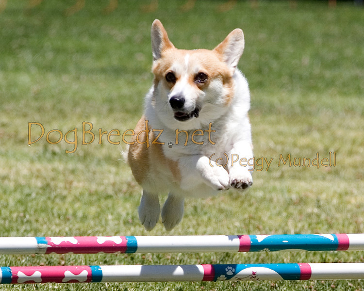 (Image #0722a) Pembroke Welsh Corgi #12102:  Eve. Simi Valley Kennel Club AKC Agility Trial May 19, 2013 in Camarillo, California. JWW Master/Excellent 12 inch.  Handled by Denise Hansford.