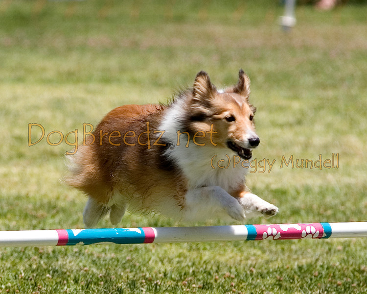 (Image #0748a) Shetland Sheepdog #12107:  O'Shea. Simi Valley Kennel Club AKC Agility Trial May 19, 2013 in Camarillo, California. JWW Master/Excellent 12 inch.  Handled by Gina Edwards.