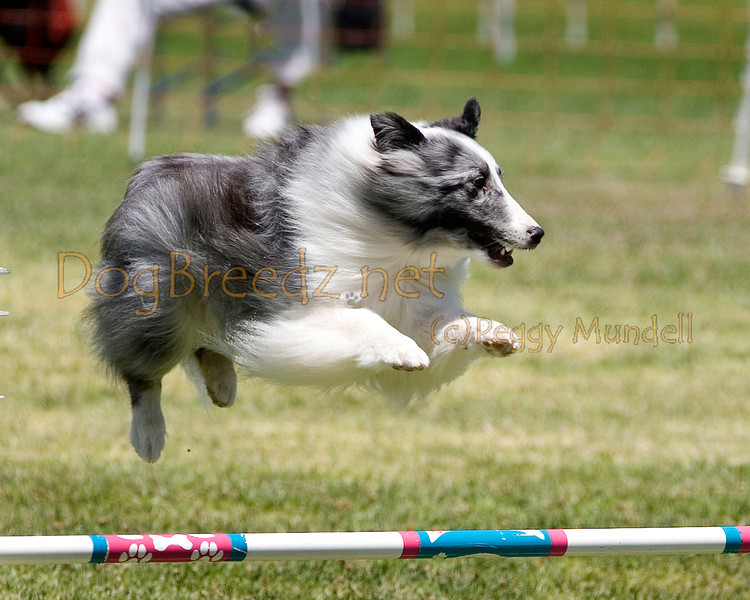 (Image #0822a) Shetland Sheepdog #12203:  Max. Simi Valley Kennel Club AKC Agility Trial May 19, 2013 in Camarillo, California. JWW Master/Excellent 12 inch.  Handled by Jeff Kogan.