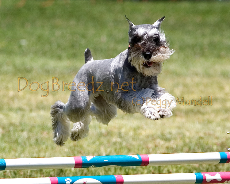 (Image #0731a) Miniature Schnauzer #12104:  Allegra. Simi Valley Kennel Club AKC Agility Trial May 19, 2013 in Camarillo, California. JWW Master/Excellent 12 inch.  Handled by Francine Markow.