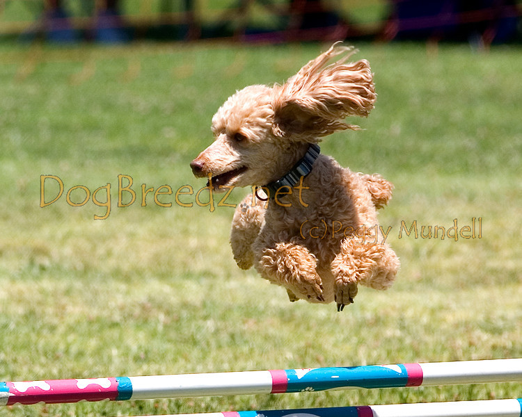 (Image #0727a) Poodle (Miniature) #12103:  Snafu. Simi Valley Kennel Club AKC Agility Trial May 19, 2013 in Camarillo, California. JWW Master/Excellent 12 inch.  Handled by Nancy Lewis.