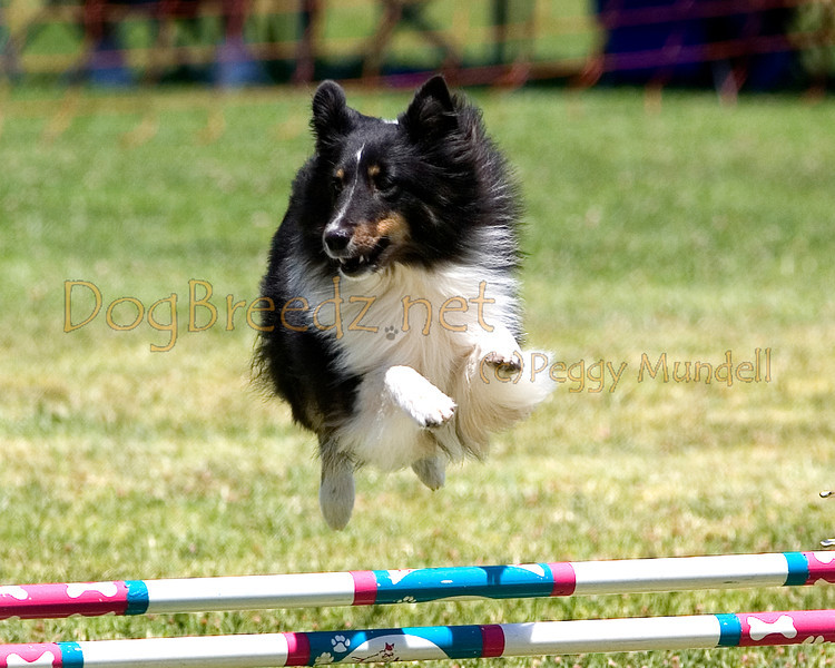 (Image #0816a) Shetland Sheepdog #12303:  Jazzie. Simi Valley Kennel Club AKC Agility Trial May 19, 2013 in Camarillo, California. JWW Master/Excellent 12 inch.  Handled by Kathy Kogan.