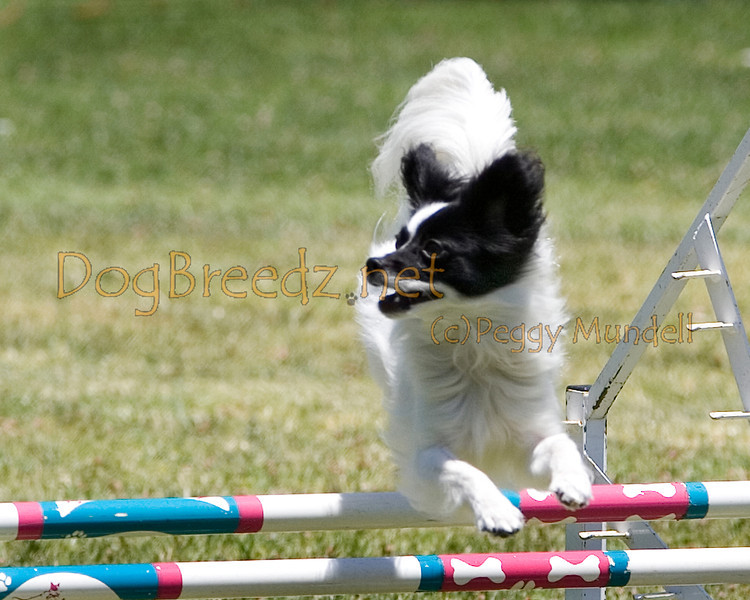 (Image #0751a) Papillon #12109:  Boogie. Simi Valley Kennel Club AKC Agility Trial May 19, 2013 in Camarillo, California. JWW Master/Excellent 12 inch.  Handled by Caroline Weil.