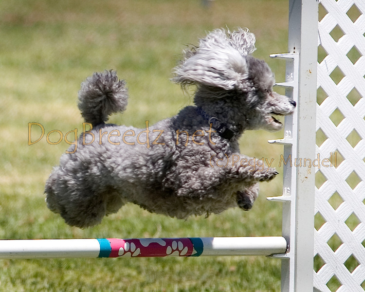 (Image #0767a) Poodle (Toy) #12114:  Bentley. Simi Valley Kennel Club AKC Agility Trial May 19, 2013 in Camarillo, California. JWW Master/Excellent 12 inch.  Handled by Donna Hedrick.