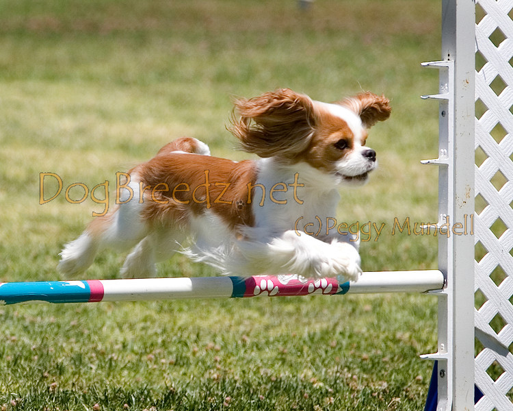 (Image #0744a) Cavalier King Charles Spaniel #12106:  Charm. Simi Valley Kennel Club AKC Agility Trial May 19, 2013 in Camarillo, California. JWW Master/Excellent 12 inch.  Handled by Nancy Latthitham.