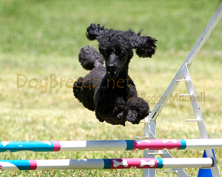 (Image #0781a) Poodle (Miniature) #12115:  Fritz. Simi Valley Kennel Club AKC Agility Trial May 19, 2013 in Camarillo, California. JWW Master/Excellent 12 inch.  Handled by Nancy Lewis.