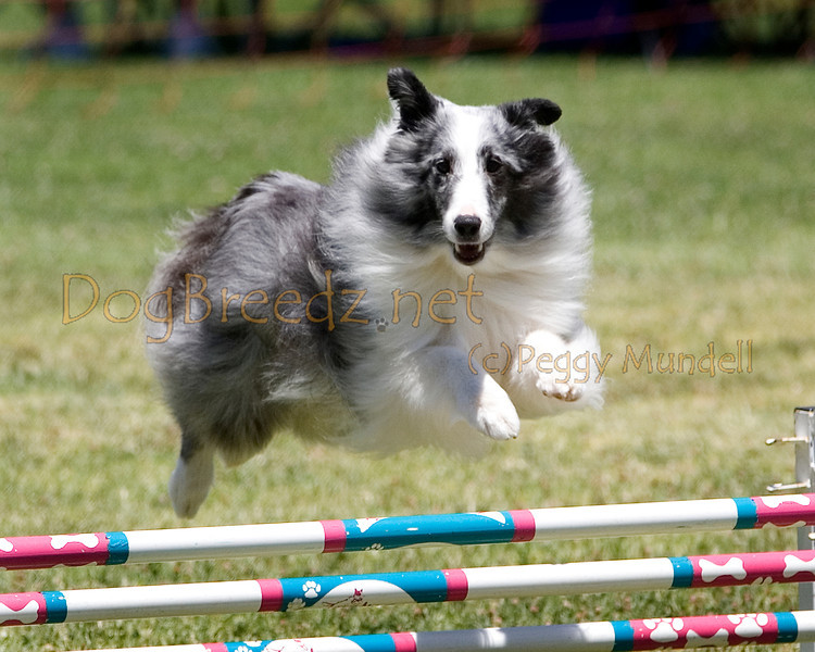 (Image #0820a) Shetland Sheepdog #12203:  Max. Simi Valley Kennel Club AKC Agility Trial May 19, 2013 in Camarillo, California. JWW Master/Excellent 12 inch.  Handled by Jeff Kogan.
