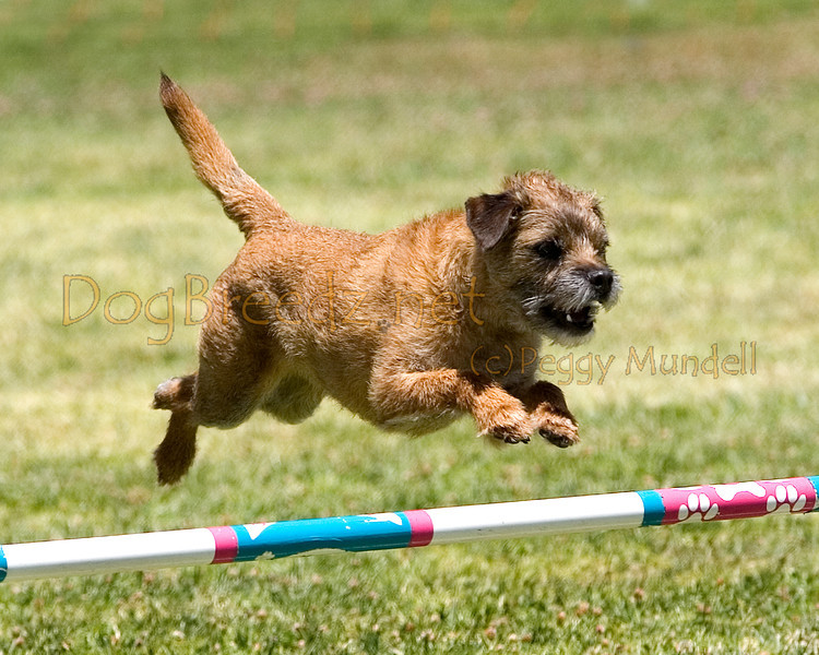 (Image #0827a) Border Terrier #12208:  Rocky. Simi Valley Kennel Club AKC Agility Trial May 19, 2013 in Camarillo, California. JWW Master/Excellent 12 inch.  Handled by Anne Bordwell.