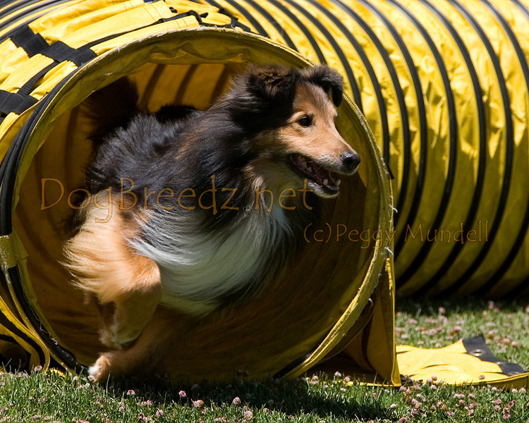 (Image #0802a) Shetland Sheepdog #12207:  Wylie. Simi Valley Kennel Club AKC Agility Trial May 19, 2013 in Camarillo, California. JWW Master/Excellent 12 inch.  Handled by Christy Conn.
