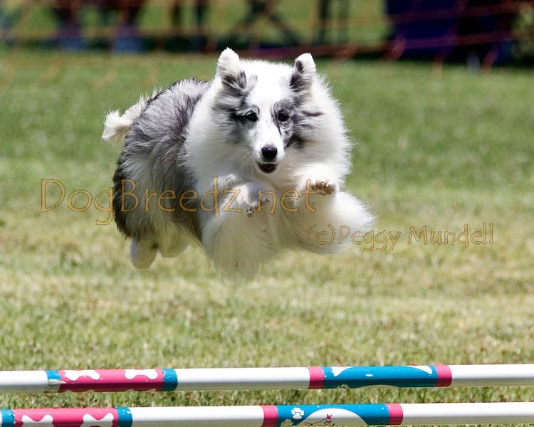 (Image #0776a) Shetland Sheepdog #12116:  Mysti. Simi Valley Kennel Club AKC Agility Trial May 19, 2013 in Camarillo, California. JWW Master/Excellent 12 inch.  Handled by Kathy Kogan.