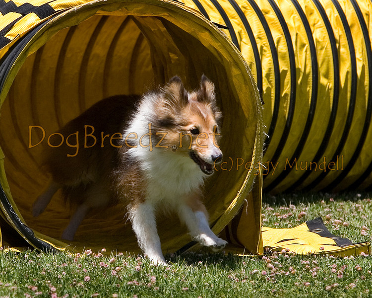 (Image #0747a) Shetland Sheepdog #12107:  O'Shea. Simi Valley Kennel Club AKC Agility Trial May 19, 2013 in Camarillo, California. JWW Master/Excellent 12 inch.  Handled by Gina Edwards.