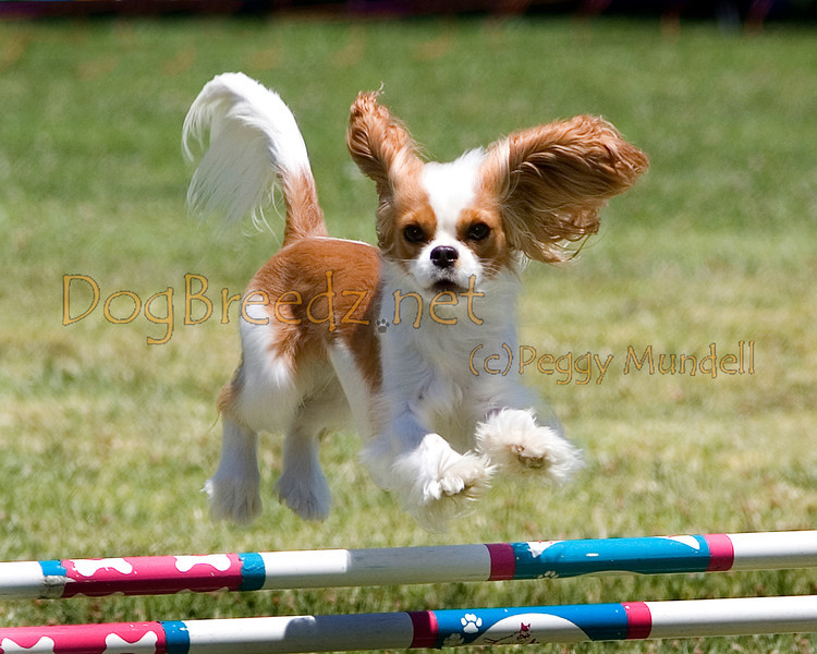 (Image #0742a) Cavalier King Charles Spaniel #12106:  Charm. Simi Valley Kennel Club AKC Agility Trial May 19, 2013 in Camarillo, California. JWW Master/Excellent 12 inch.  Handled by Nancy Latthitham.