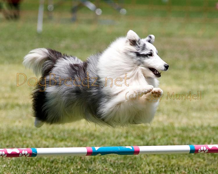 (Image #0778a) Shetland Sheepdog #12116:  Mysti. Simi Valley Kennel Club AKC Agility Trial May 19, 2013 in Camarillo, California. JWW Master/Excellent 12 inch.  Handled by Kathy Kogan.