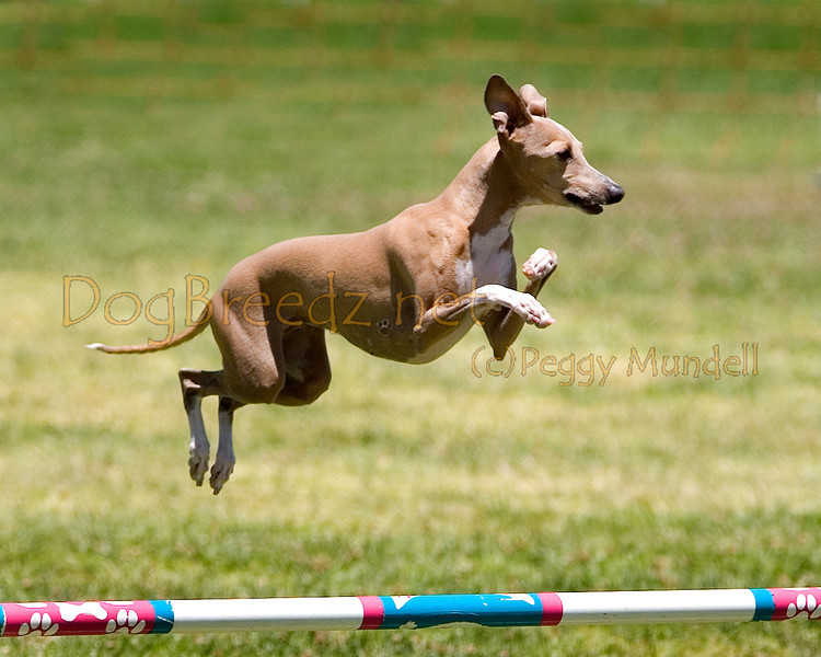 (Image #0808a) Italian Greyhound #12301:  Kelly. Simi Valley Kennel Club AKC Agility Trial May 19, 2013 in Camarillo, California. JWW Master/Excellent 12 inch.  Handled by Wendy Hesterly.