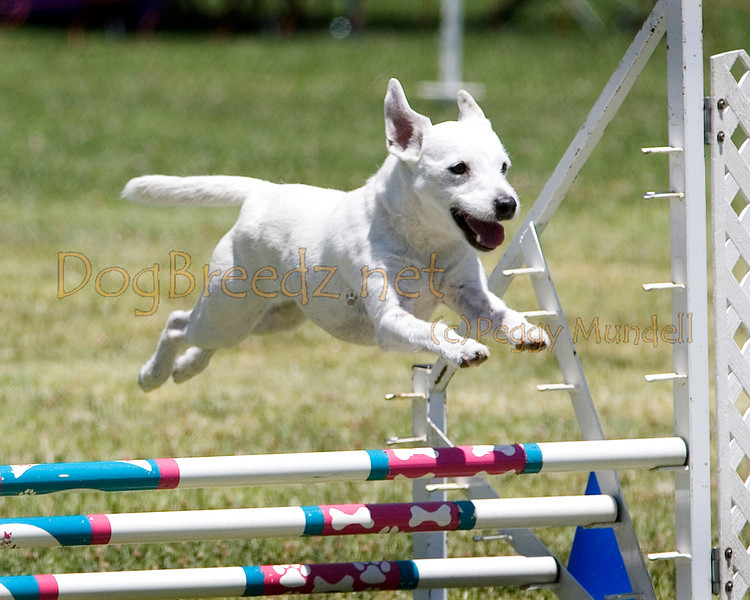 (Image #0756a) Parson Russell Terrier #12111:  Ozzy. Simi Valley Kennel Club AKC Agility Trial May 19, 2013 in Camarillo, California. JWW Master/Excellent 12 inch.  Handled by Lilyan Carew.