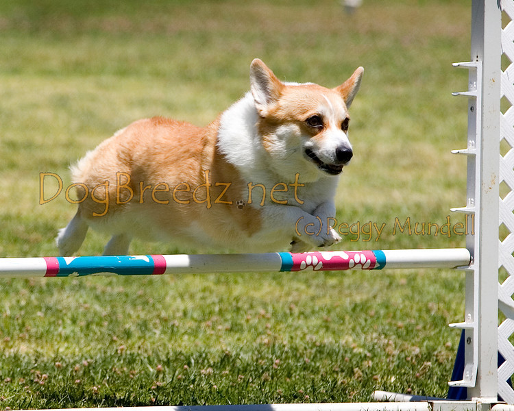 ((mage #0724a) Pembroke Welsh Corgi #12102:  Eve. Simi Valley Kennel Club AKC Agility Trial May 19, 2013 in Camarillo, California. JWW Master/Excellent 12 inch.  Handled by Denise Hansford.