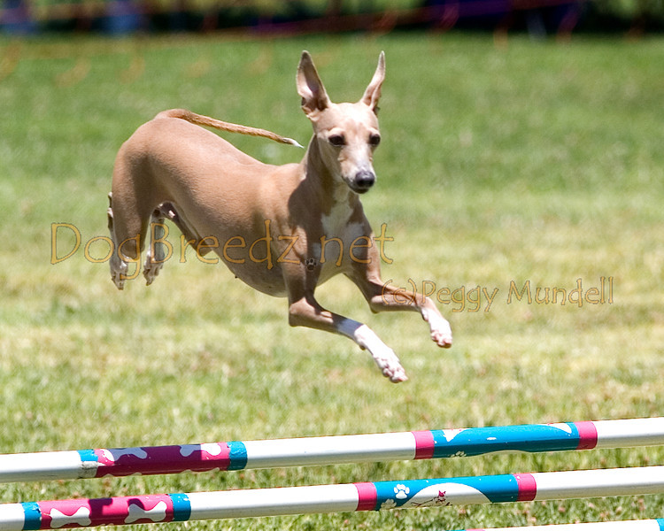 (Image #0806a) Italian Greyhound #12301:  Kelly. Simi Valley Kennel Club AKC Agility Trial May 19, 2013 in Camarillo, California. JWW Master/Excellent 12 inch.  Handled by Wendy Hesterly.