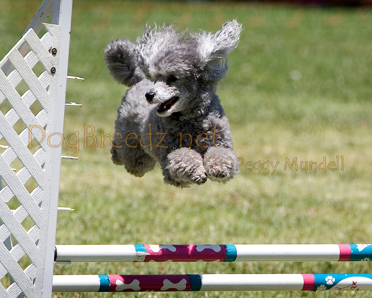 (Image #0765a) Poodle (Toy) #12114:  Bentley. Simi Valley Kennel Club AKC Agility Trial May 19, 2013 in Camarillo, California. JWW Master/Excellent 12 inch.  Handled by Donna Hedrick.