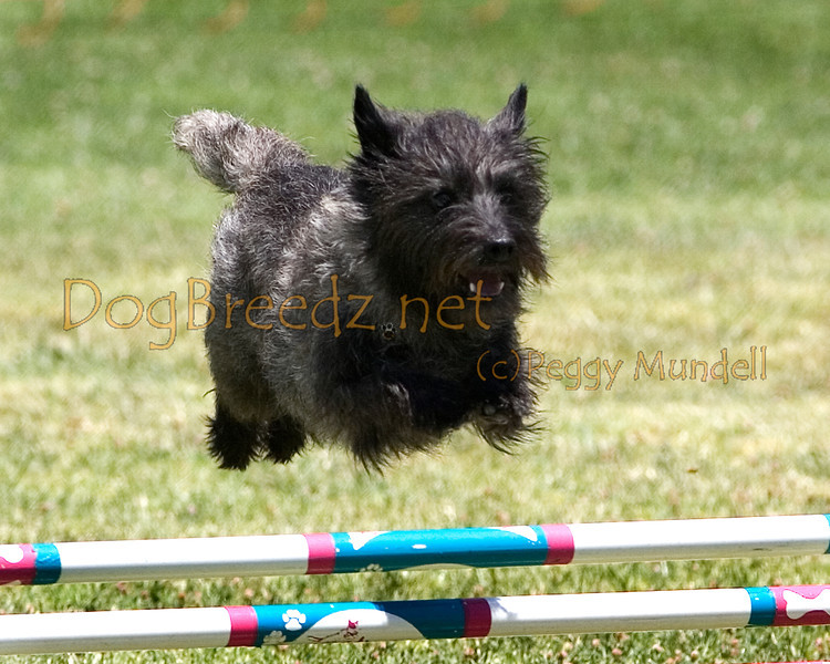 (Image #0736a) Cairn Terrier #12105:  Thomas. Simi Valley Kennel Club AKC Agility Trial May 19, 2013 in Camarillo, California. JWW Master/Excellent 12 inch.  Handled by Judith Lewis.