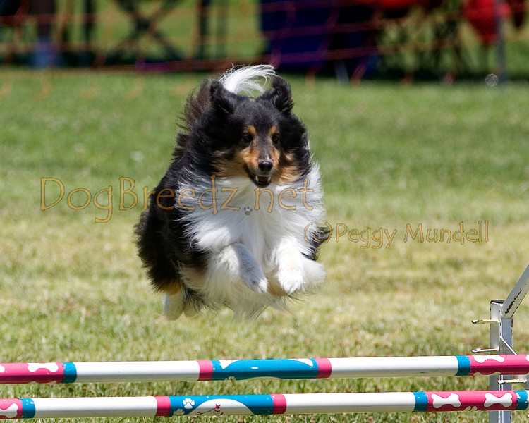 (Image #0811a) Shetland Sheepdog #12302:  Little Bear. Simi Valley Kennel Club AKC Agility Trial May 19, 2013 in Camarillo, California. JWW Master/Excellent 12 inch.  Handled by Gina Edwards.