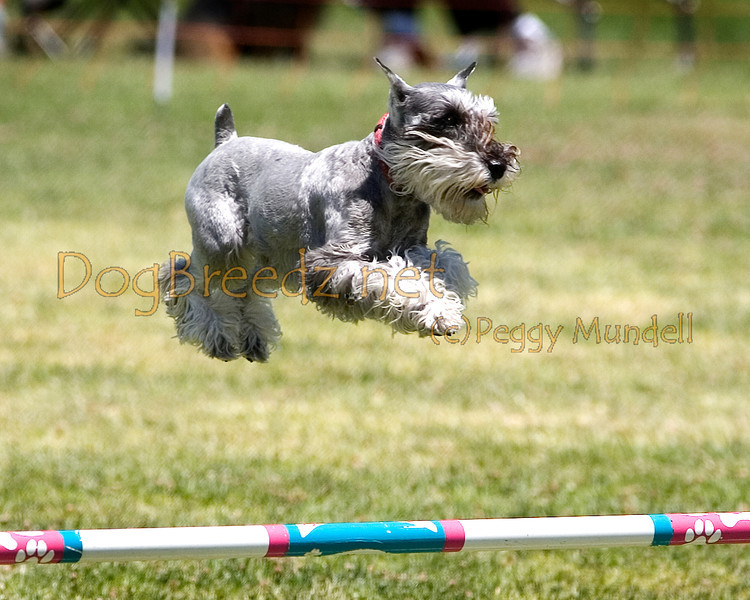 (Image #0733a) Miniature Schnauzer #12104:  Allegra. Simi Valley Kennel Club AKC Agility Trial May 19, 2013 in Camarillo, California. JWW Master/Excellent 12 inch.  Handled by Francine Markow.