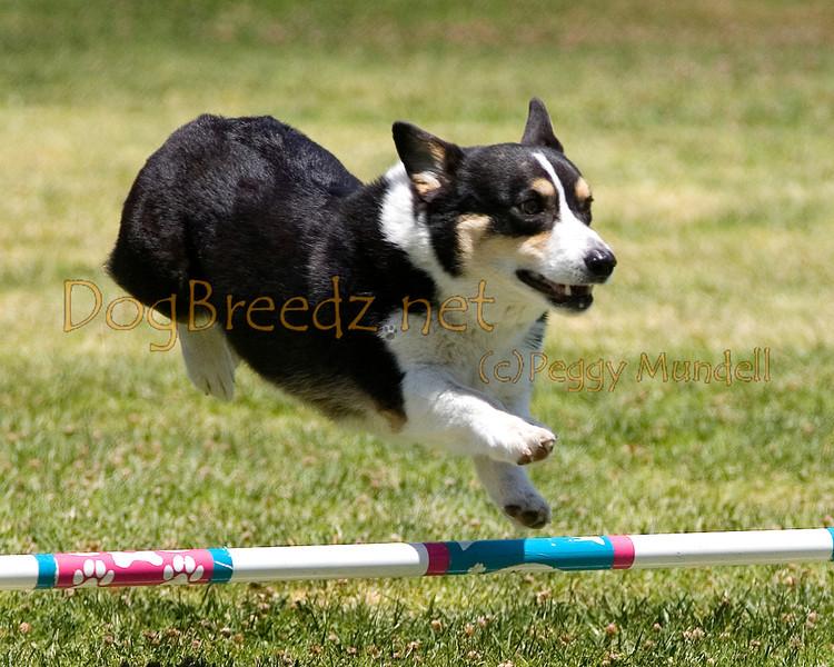 (Image #0697a) Pembroke Welsh Corgi #8202:  Trevor. Simi Valley Kennel Club AKC Agility Trial May 19, 2013 in Camarillo, California. JWW Master/Excellent 8 inch.  Handled by Elizabeth Chilton.