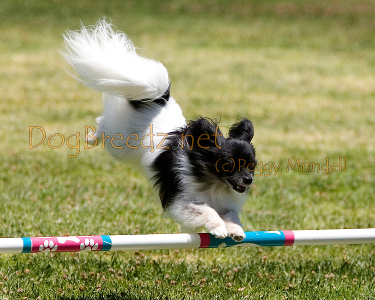 (Image #0718a) Papillon #8109:  Cooper. Simi Valley Kennel Club AKC Agility Trial May 19, 2013 in Camarillo, California. JWW Master/Excellent 8 inch.  Handled by Christine Burton.