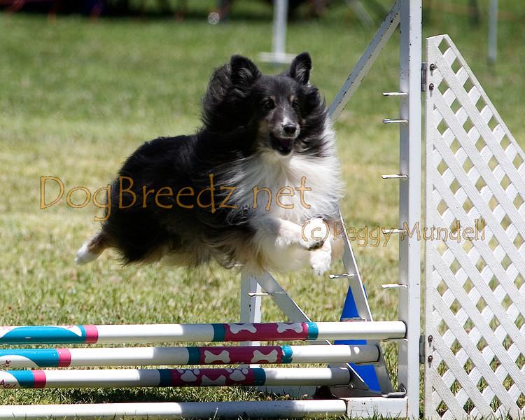 (Image #0700a) Shetland Sheepdog #8203:  Rockie. Simi Valley Kennel Club AKC Agility Trial May 19, 2013 in Camarillo, California. JWW Master/Excellent 8 inch.  Handled by Jeff Kogan.