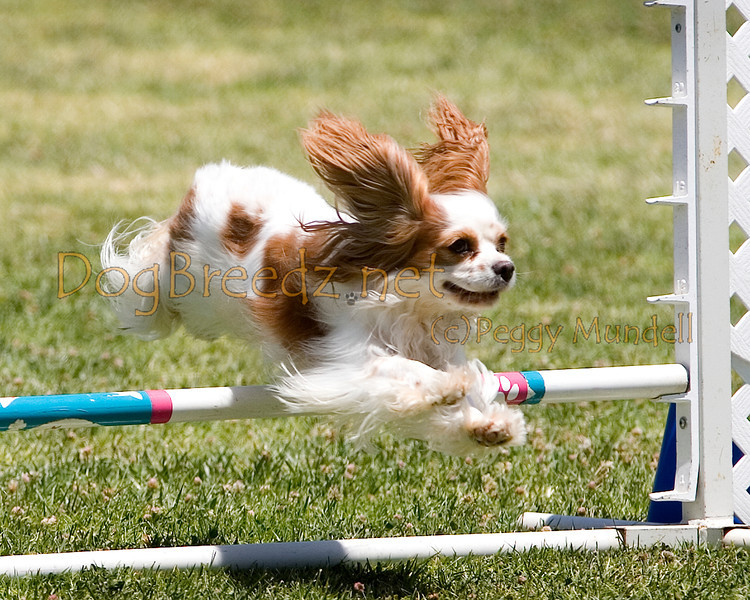 (Image #0683a) Cavalier King Charles Spaniel #8104:  Cassie. Simi Valley Kennel Club AKC Agility Trial May 19, 2013 in Camarillo, California. JWW Master/Excellent 8 inch.  Handled by Nancy Latthitham.