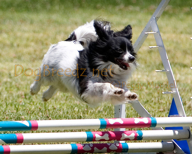 (Image #0686a) Papillon #8105:  Lacey. Simi Valley Kennel Club AKC Agility Trial May 19, 2013 in Camarillo, California. JWW Master/Excellent 8 inch.  Handled by Richard Penney.