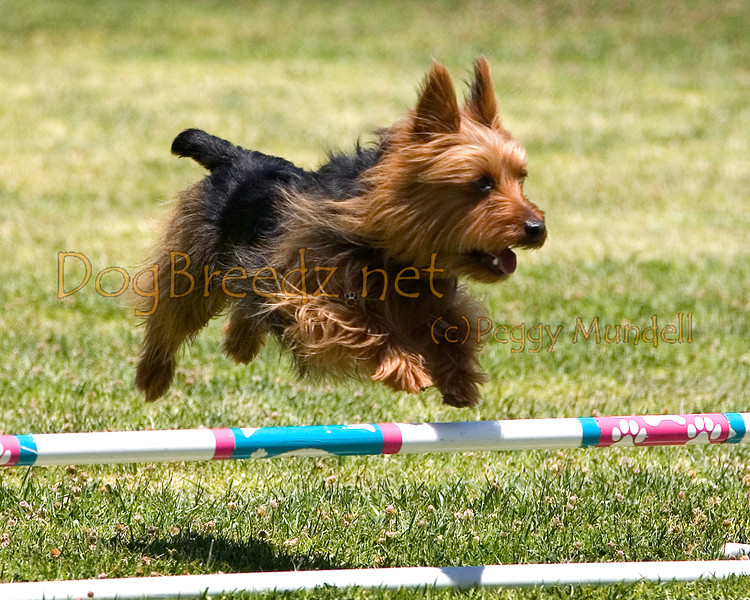 (Image #0707a) Australian Terrier #8205:  Winston. Simi Valley Kennel Club AKC Agility Trial May 19, 2013 in Camarillo, California. JWW Master/Excellent 8 inch.  Handled by Susan Clayton.